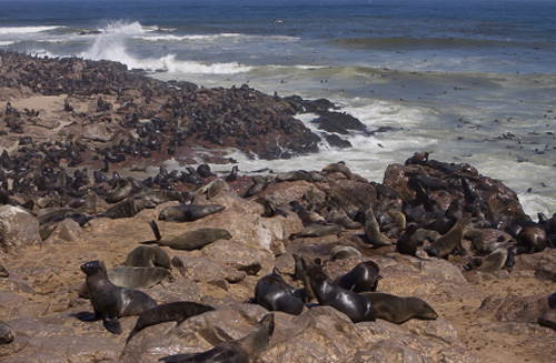 Thousands of Cape fur seals line the rocky shoreline